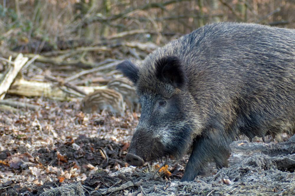 Wildschwein mit Jungtier