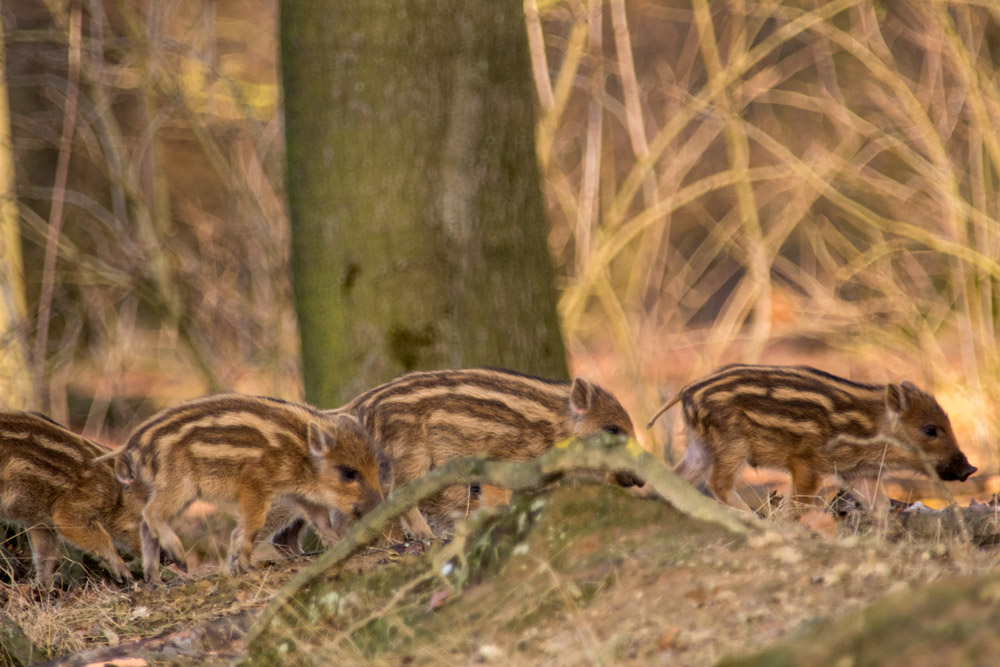 Junge Wildschweine sogenannte Frischlinge im Wildschweinpark Melle im Osnabrücker Land