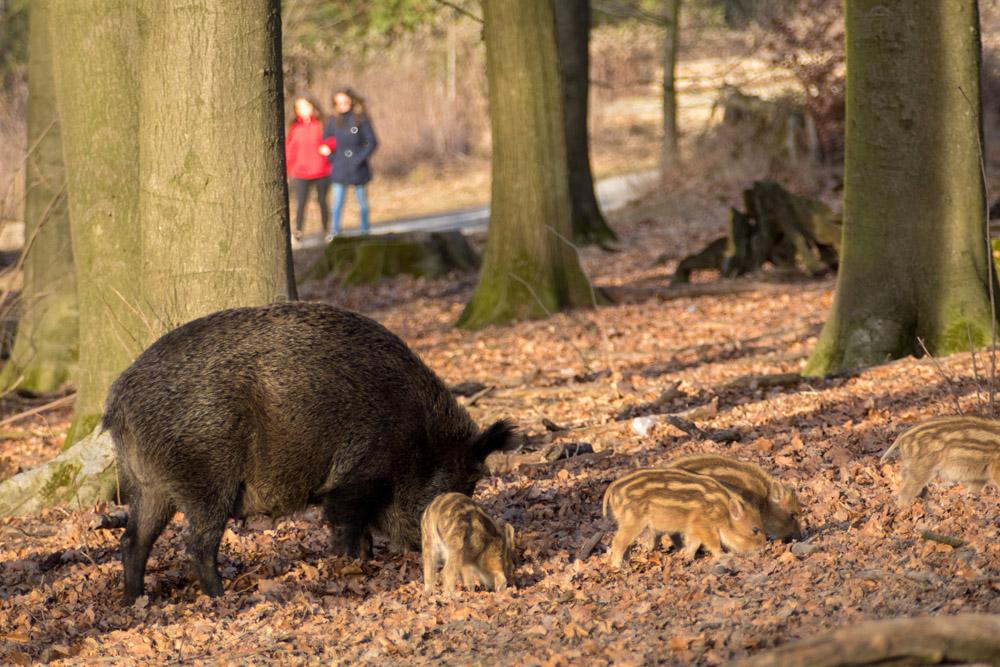 Wildschwein und Menschen im Wildpark Melle