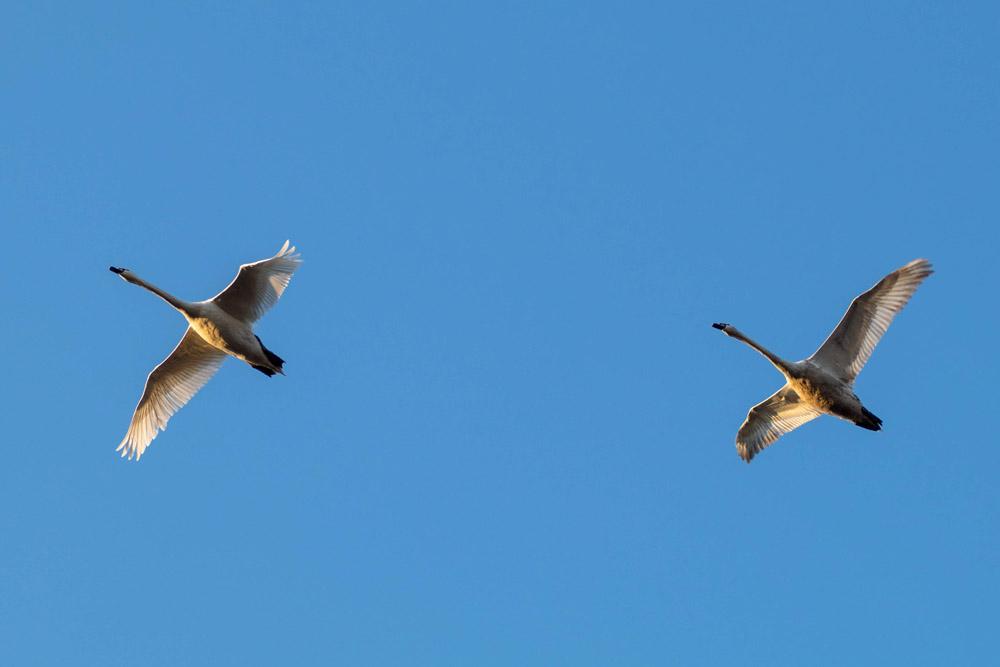 Singschwäne fliegen am Himmel über Brandenburg