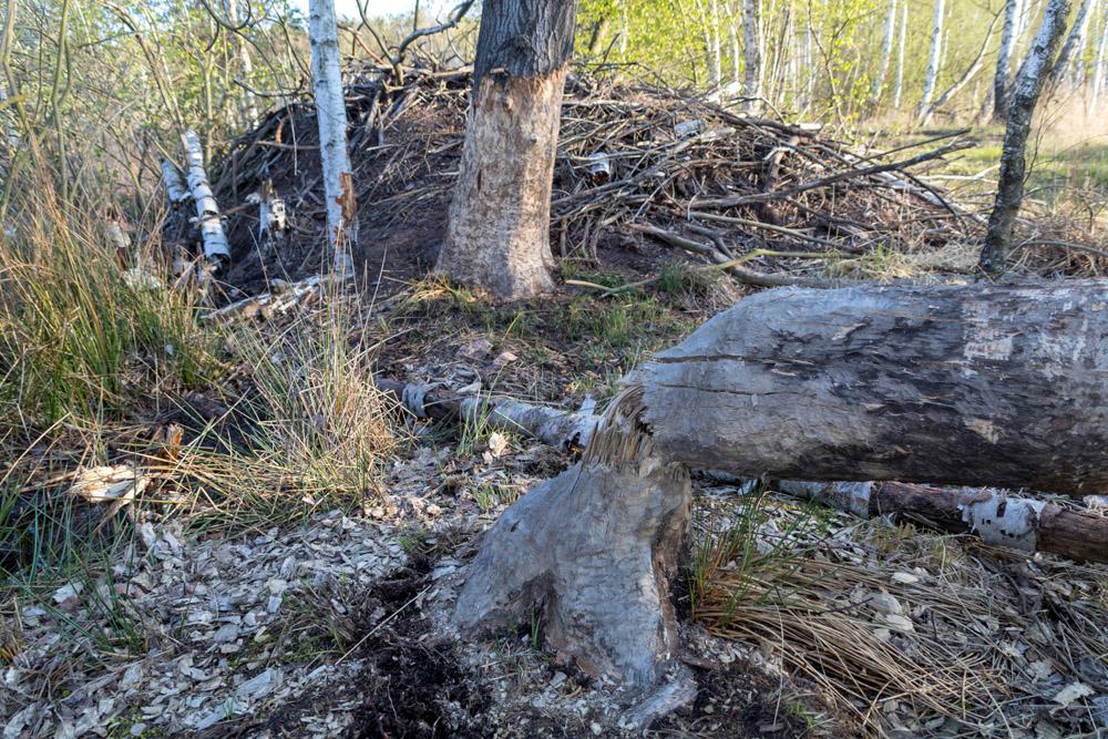 Biberbau mit Biberburg im Naturschutzgebiet der Loben in Brandenburg
