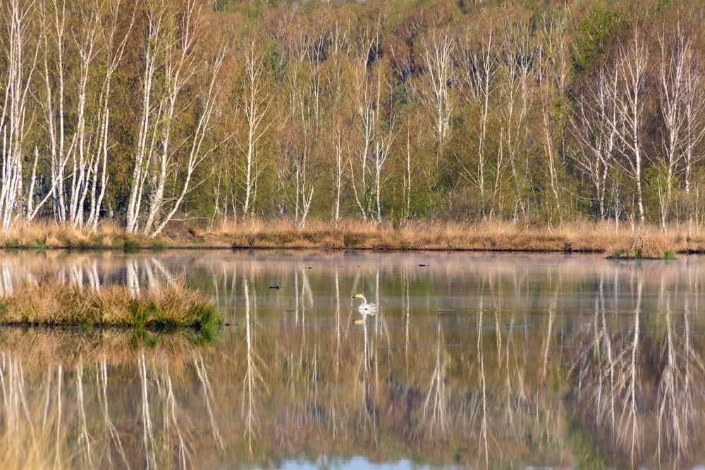 Singschwan auf einem See im Moor im Naturschutzgebiet der Loben in Brandenburg