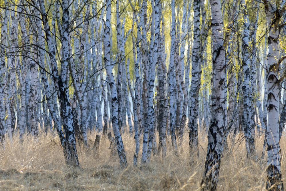 Birkenwald im Naturschutzgebiet der Loben im Moor in Brandenburg