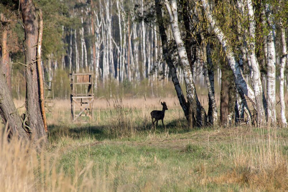 Ein Reh vor einem Hochsitz auf einem Feld im Naturschutzgebiet der loben in Brandenburg