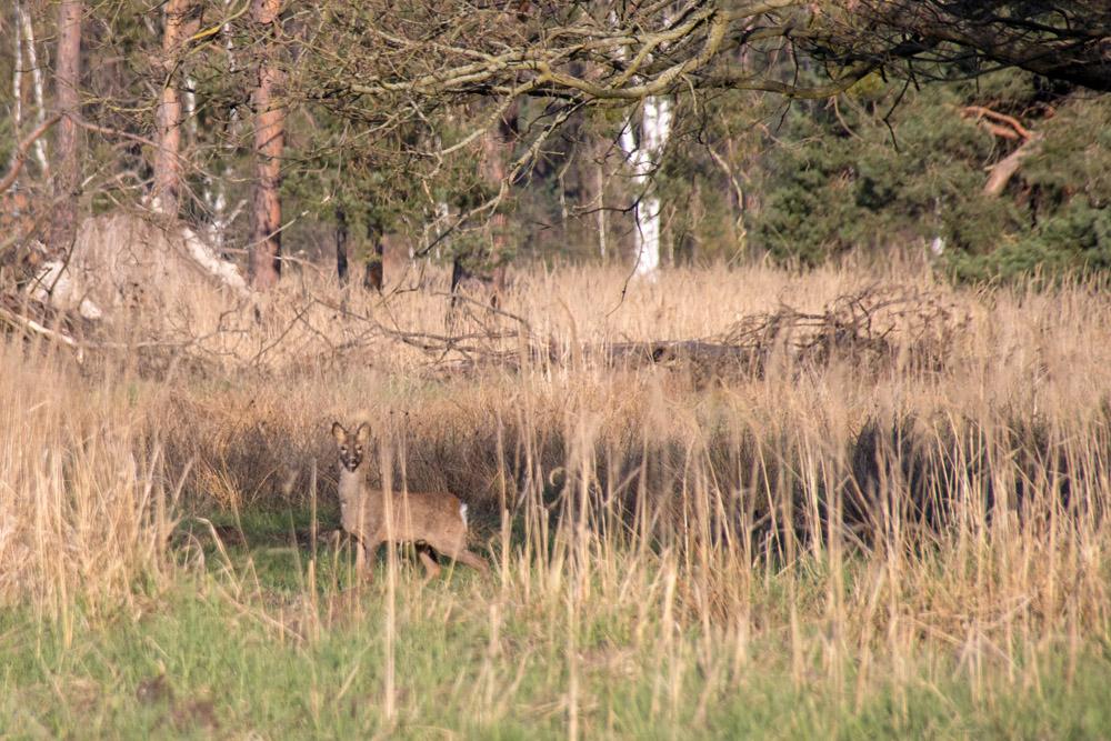 Ein Reh auf einem Feld im Naturschutzgebiet der loben in Brandenburg
