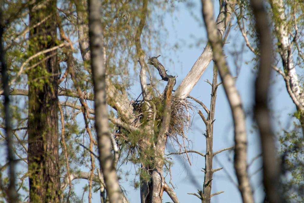 Nest bzw. Horst eines Seeadlers im Naturschutzgebiet Loben in Brandenburg