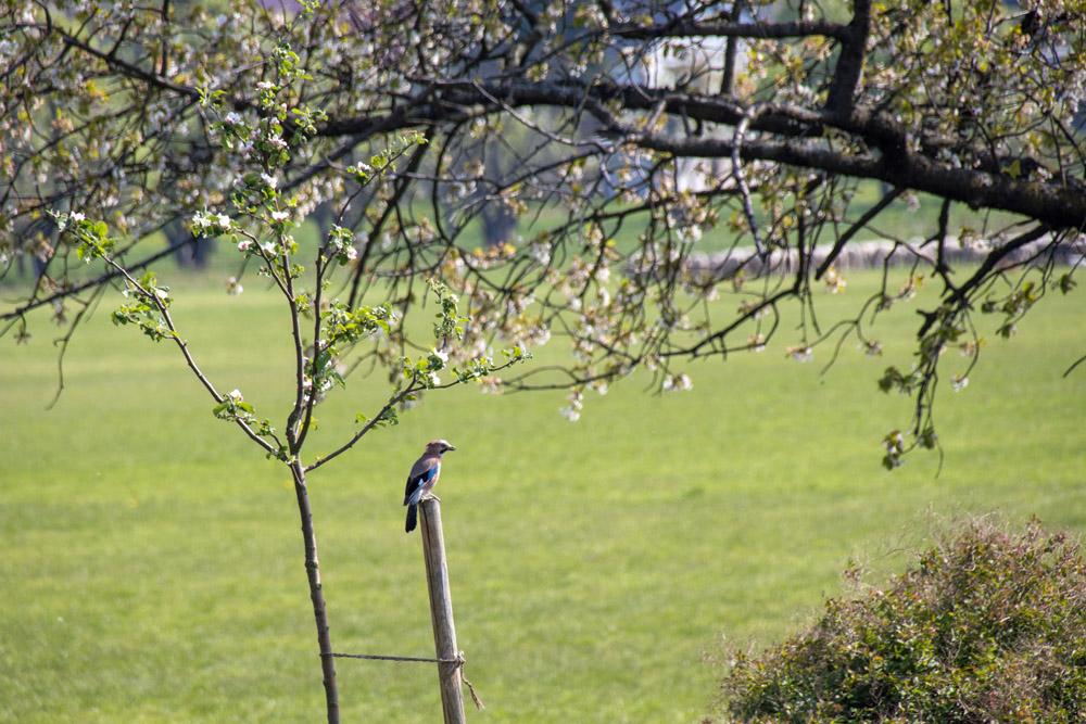 Eichelhäher auf einer Streuobst-Wiese in Hohenleipisch in Brandenburg