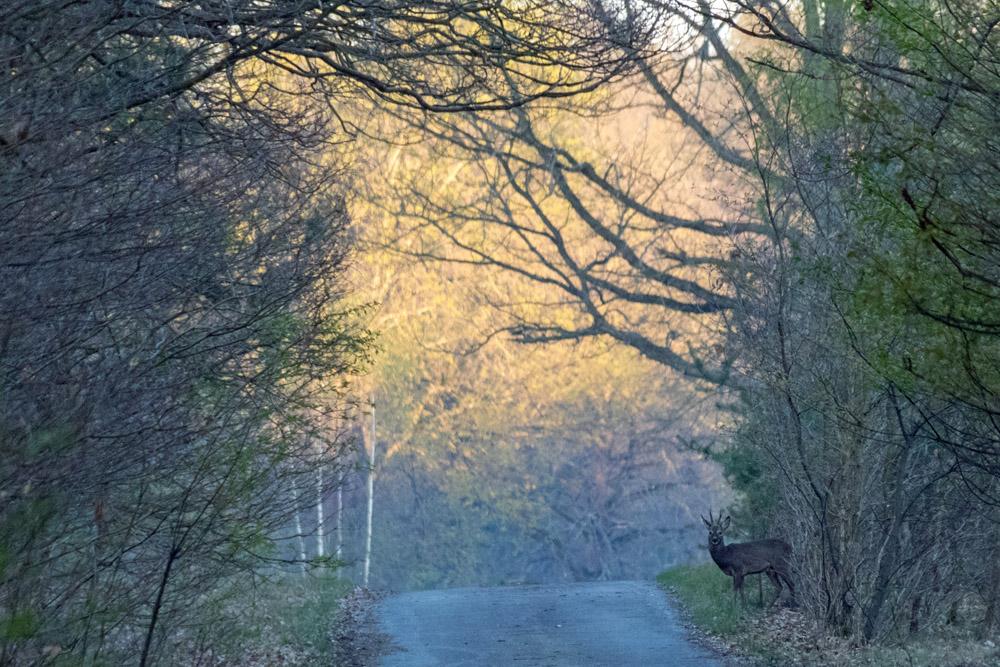 Reh bei Sonnenaufgang im Naturpark Niederlausitzer Heidelandschaft in Brandenburg