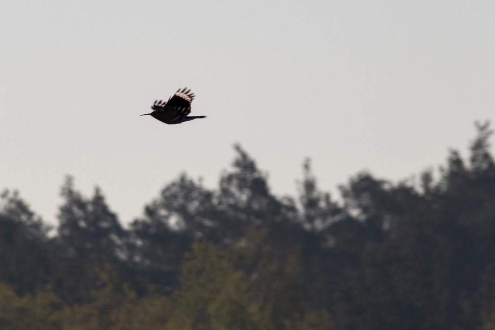 Wiedehopf im Naturpark Niederlausitzer Heidelandschaft in Brandenburg