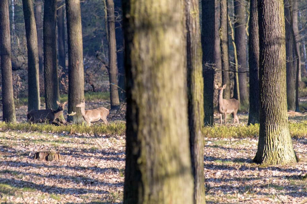 Frei lebende Hirsche im Naturpark Niederlausitzer Heidelandschaft in Brandenburg