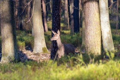 Frei lebender Hirsch im Naturpark Niederlausitzer Heidelandschaft in Brandenburg