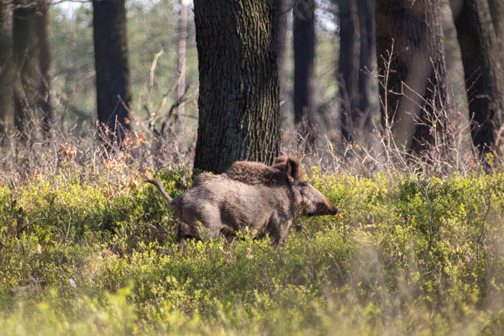 Wildschwein im Naturpark Niederlausitzer Heidelandschaft in Brandenburg