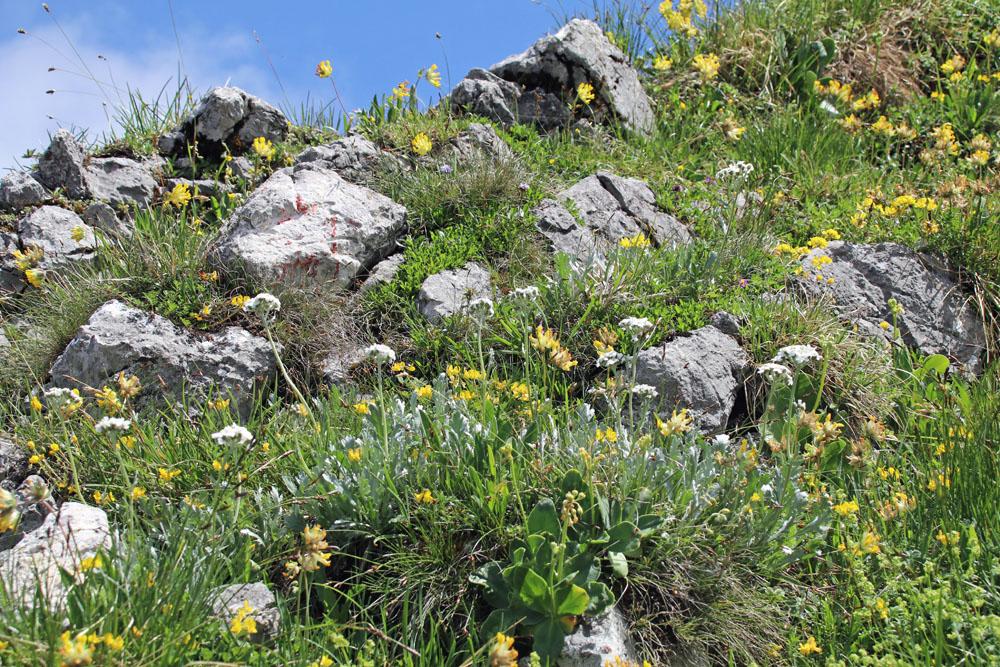 Blumen auf einer Almwiese am Heuberg am Walchsee in Österreich