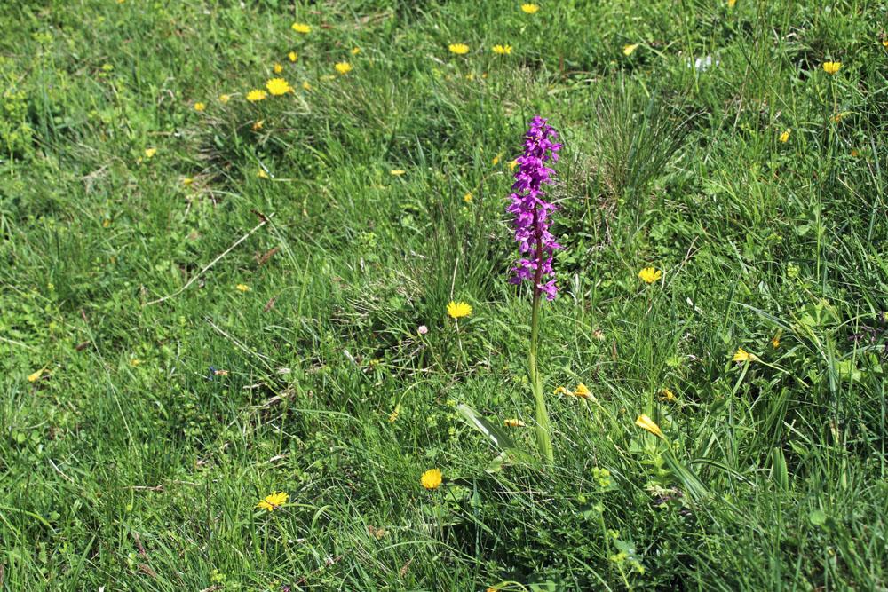 Blumen mit Orchidee auf einer Almwiese am Heuberg am Walchsee in Österreich