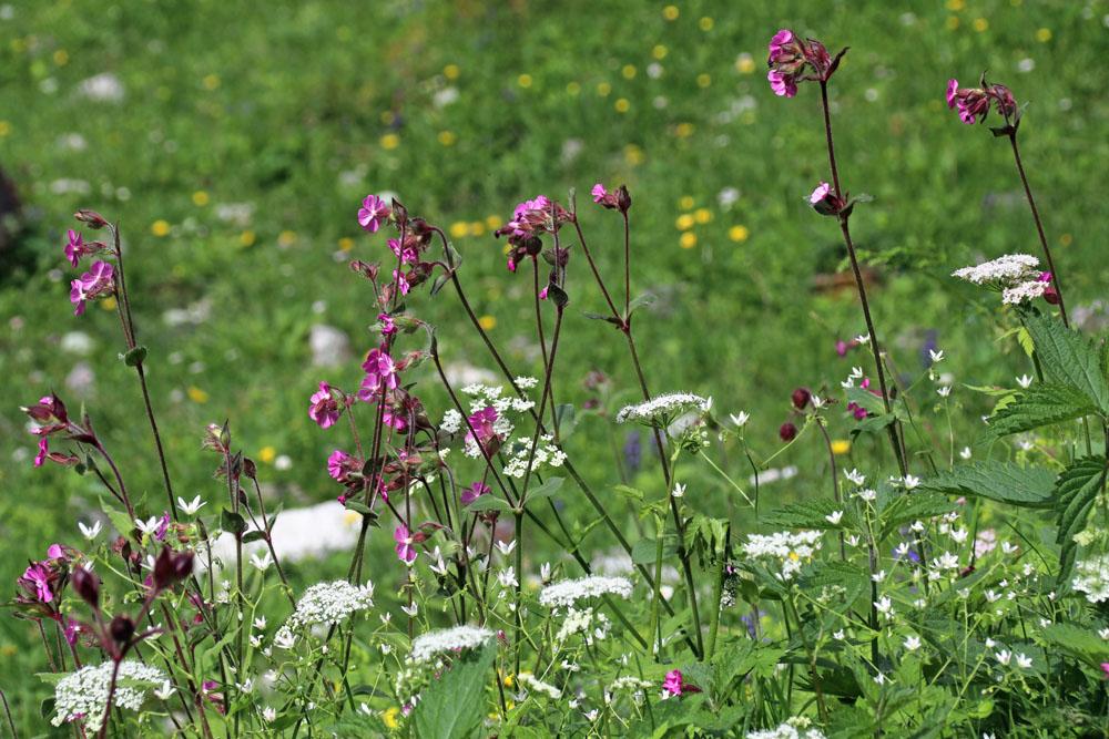 Almwiese mit vielen bunten blühenden Blumen am Walchsee in den Bergen Tirols