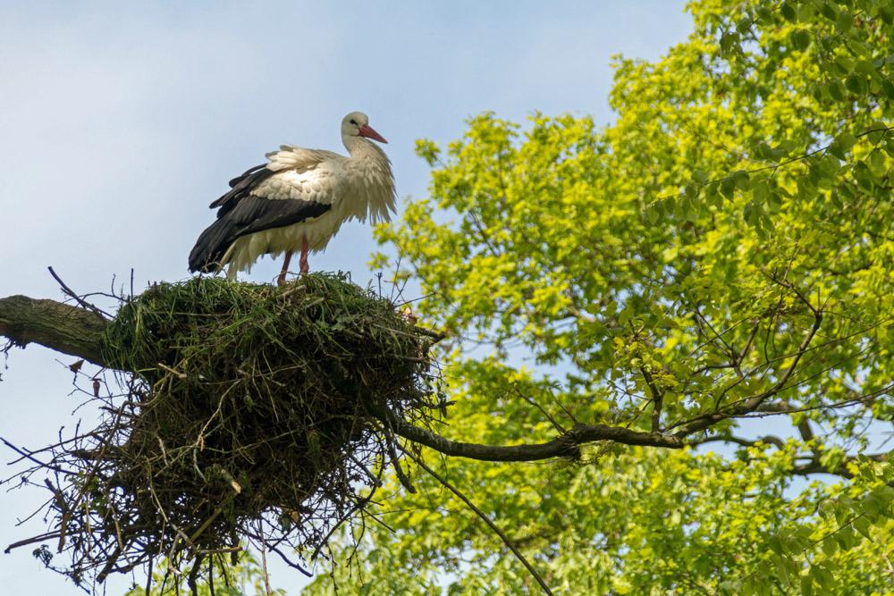 Ein Storch im Naturzoo Rheine