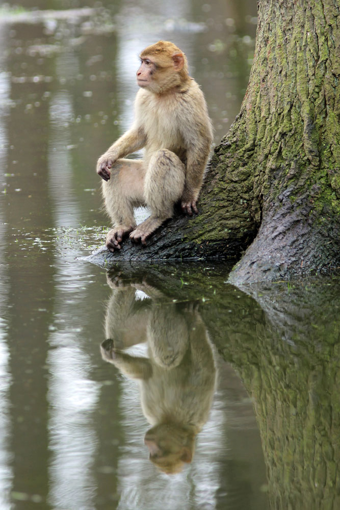 Ein Affe im Naturzoo Rheine