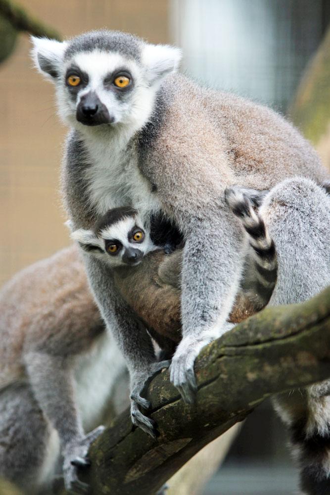 Lemuren im Naturzoo Rheine
