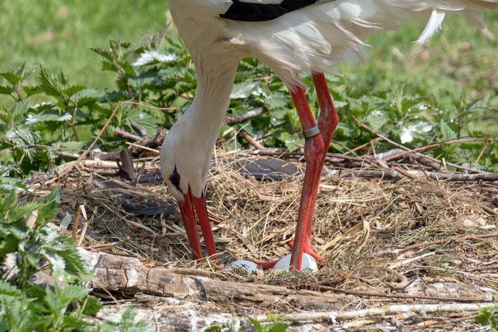 Ein Storch mit zwei Eiern im Nest im Naturzoo Rheine