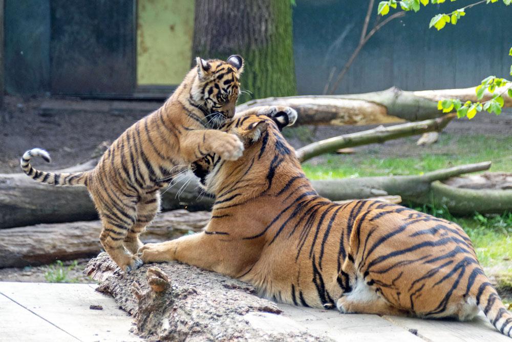 Tiger mit Baby bzw. Jungtier im Naturzoo Rheine