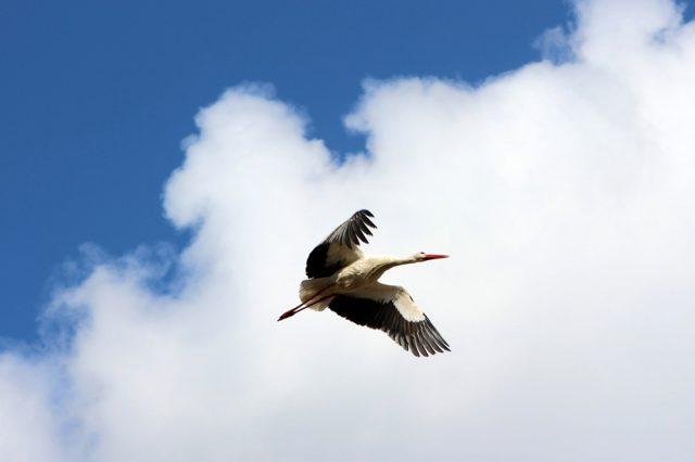 Störche bauen im Frühjahr in Deutschland ein Nest. Dieser Storch bringt Baumaterial im Schnabel