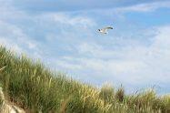 Eine Düne auf der Insel Spiekeroog in der Nordsee mit einer Möwe
