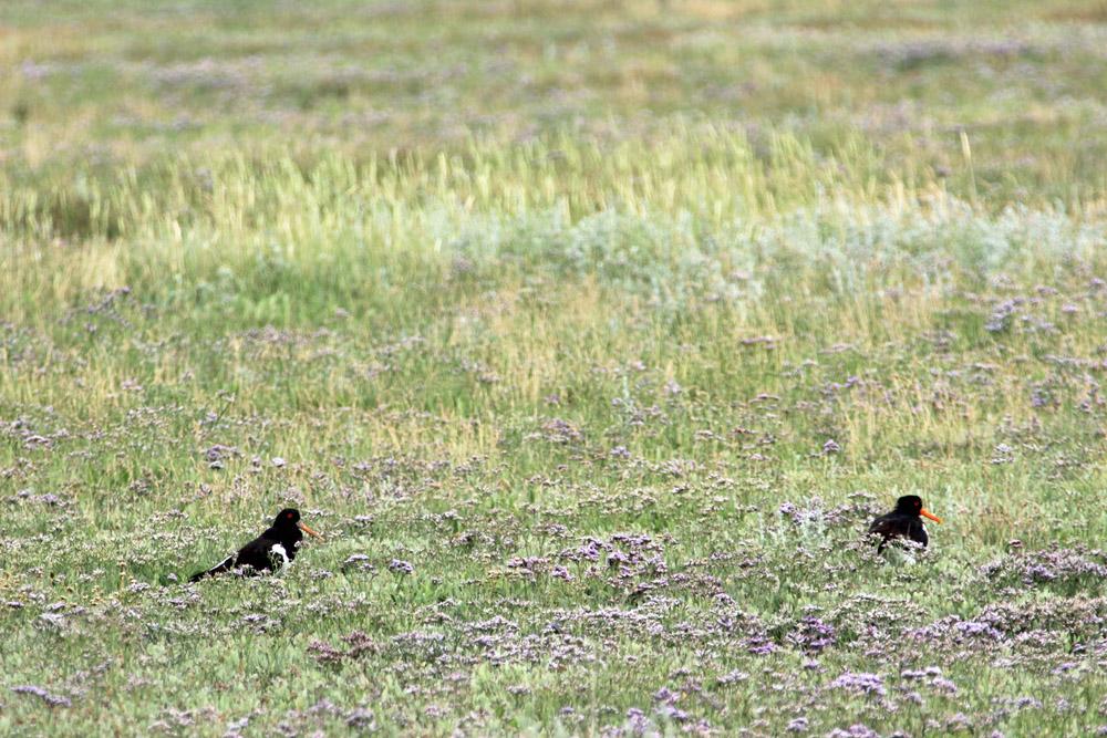Austernfischer sind nur einige der Vögel in den Salzwiesen auf Spiekeroog