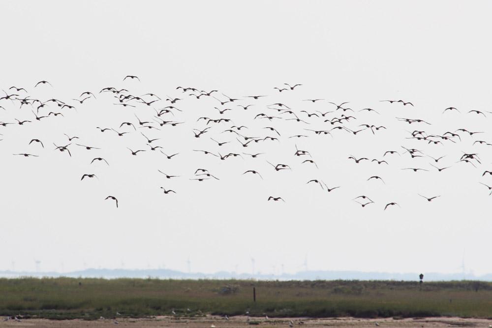 Nordsee Vögel über dem Wattenmeer aufgenommen von einer Fähre nach Spiekeroog