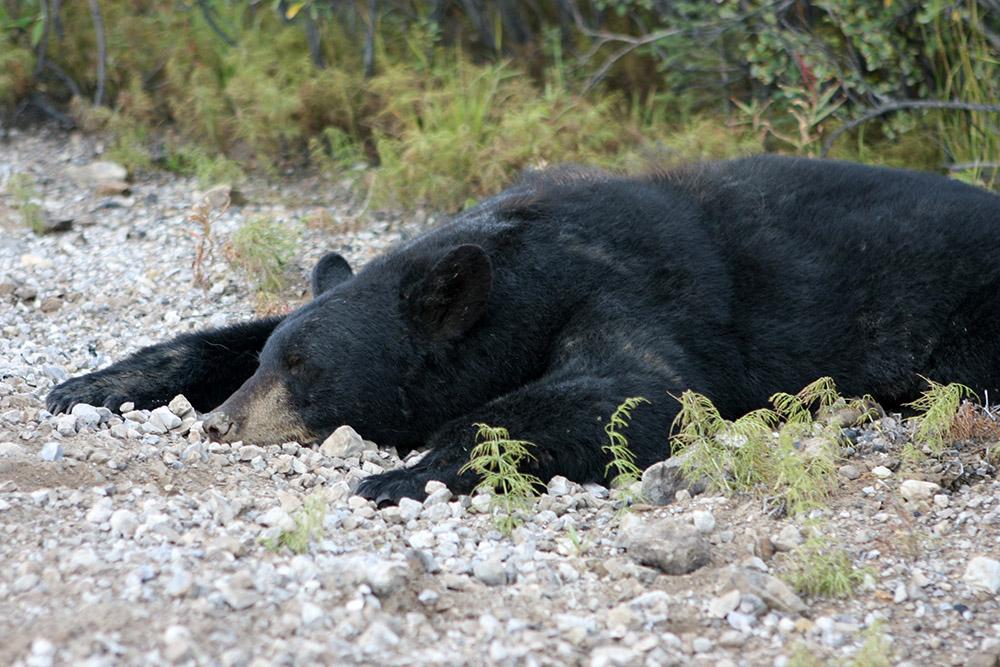 Toter Schwarzbär am Straßenrand des Dempster Highways im Yukon in Kanada