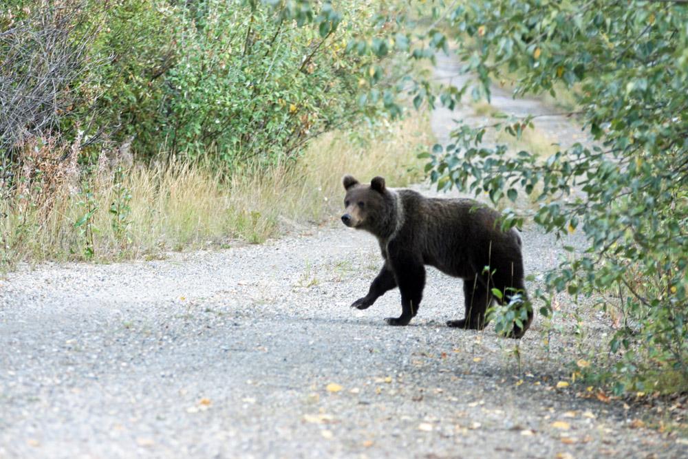 Grizzlybär Jungtier im Yukon Kanada