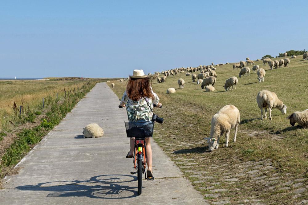 Fahrrad auf einem Deich an der Nordsee mit Schafen in Schillig
