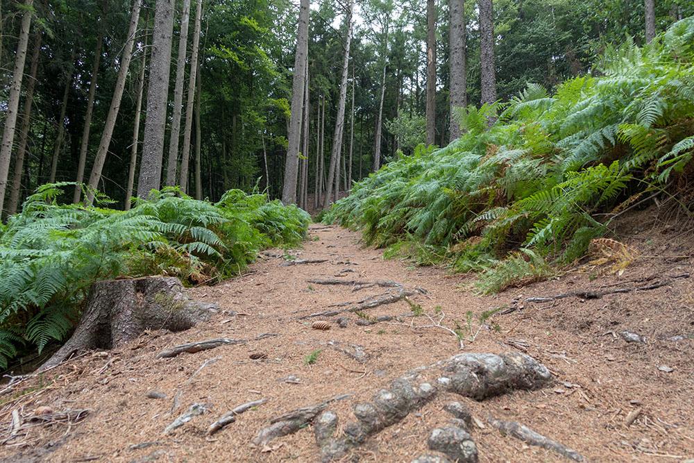 Farne im Wald am Hexenpfad in Tecklenburg