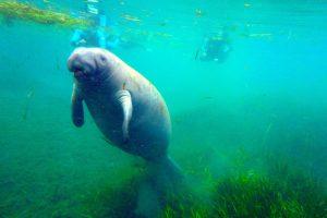 Schwimmen mit einer Seekuh in Florida