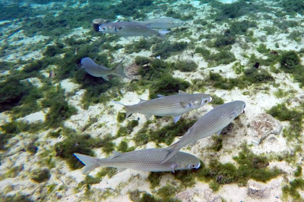 Meeräschen Florida