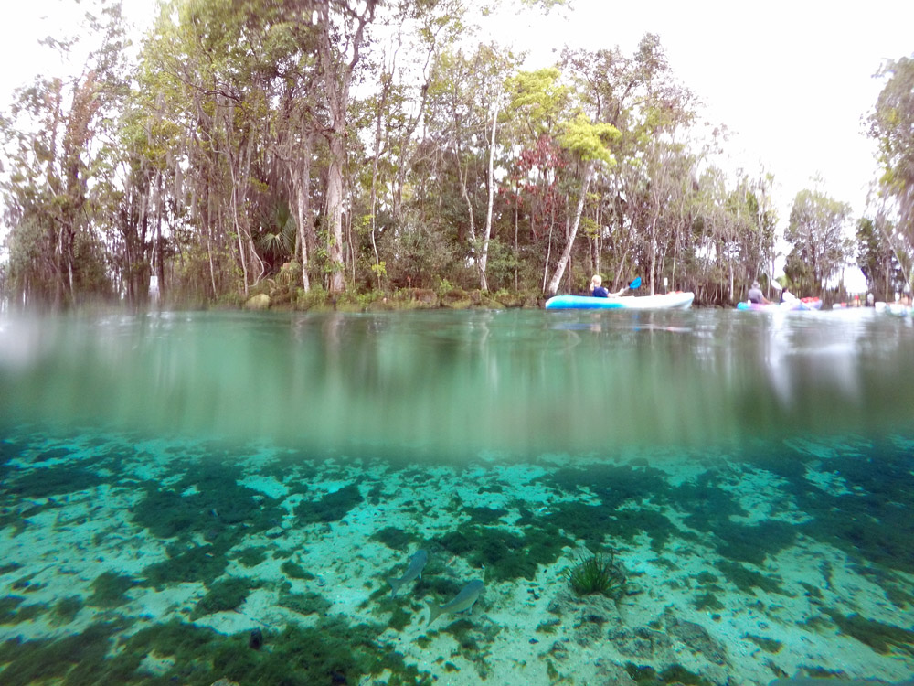 Schnorcheln und Schwimmen mit Seekühen in Crystal River Florida