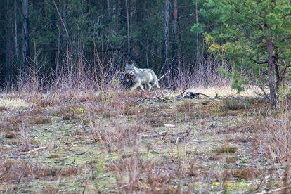 Wolf in Deutschland beobachten
