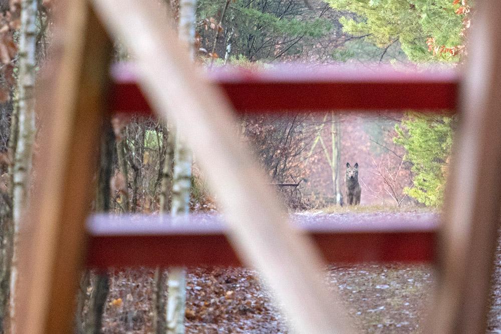 Wölfe in Deutschland beobachten