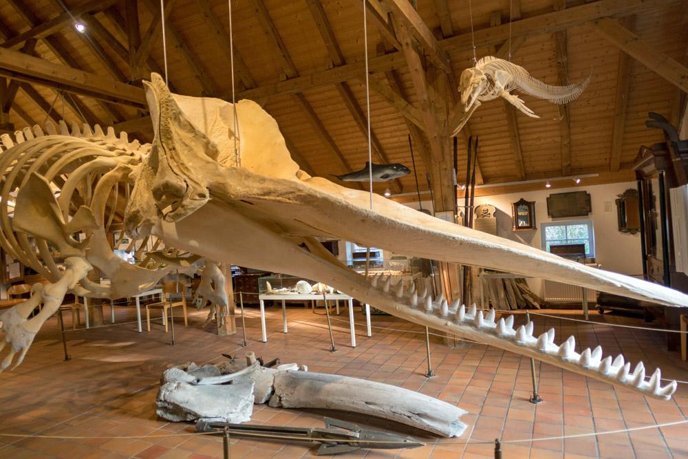 Heimatmuseum Borkum Pottwal Skelett