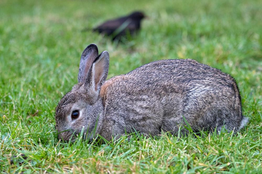 Überall auf Borkum findet man wilde Kaninchen.