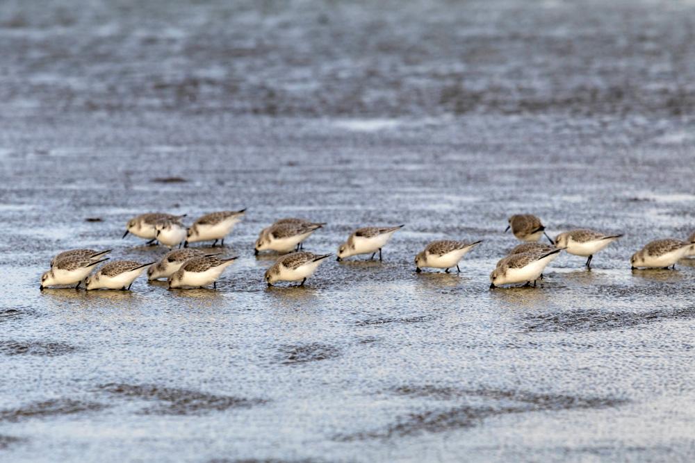 Unzählige Vögel fühlen sich im Watt wohl.