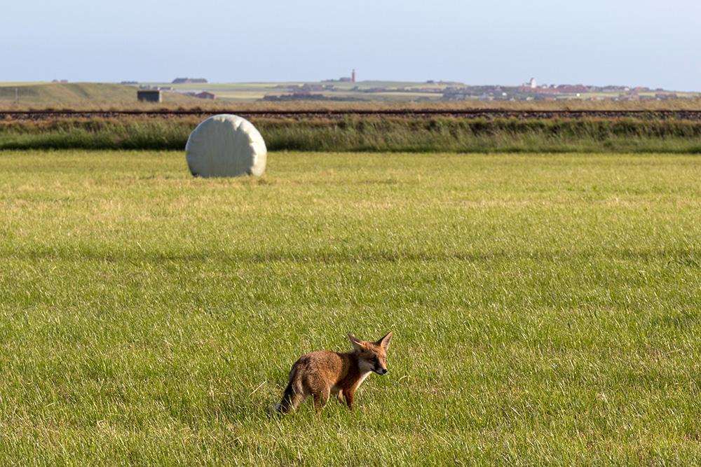 Ein Fuchs vor dem Leuchtturm Bovbjerg Fyr