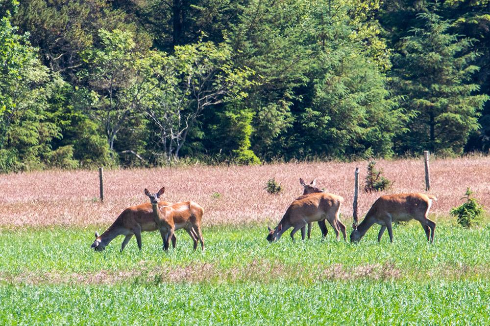 An der dänischen Nordseeküste gibt es große Hirschbestände. Diese Gruppe bestand aus rund 30 teils hochträchtigen Kühen.