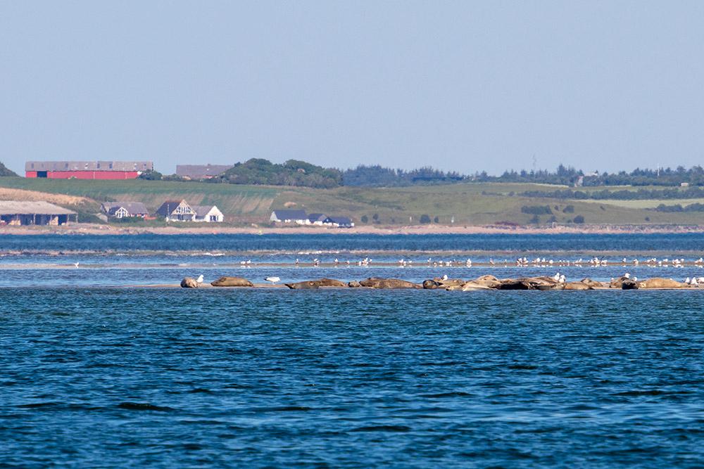 Auf einer Sandbank zwischen Agger und Thyborøn lassen sich fast immer Seehunde beobachten