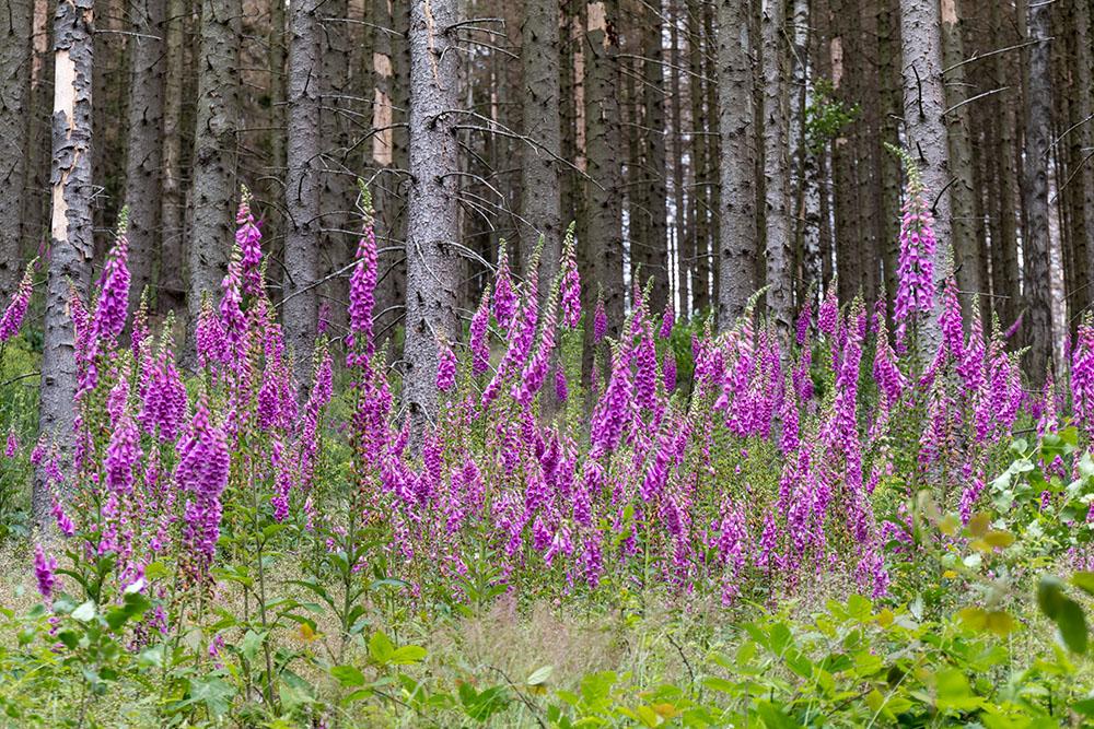 Blühende Fingerhüte im Harz