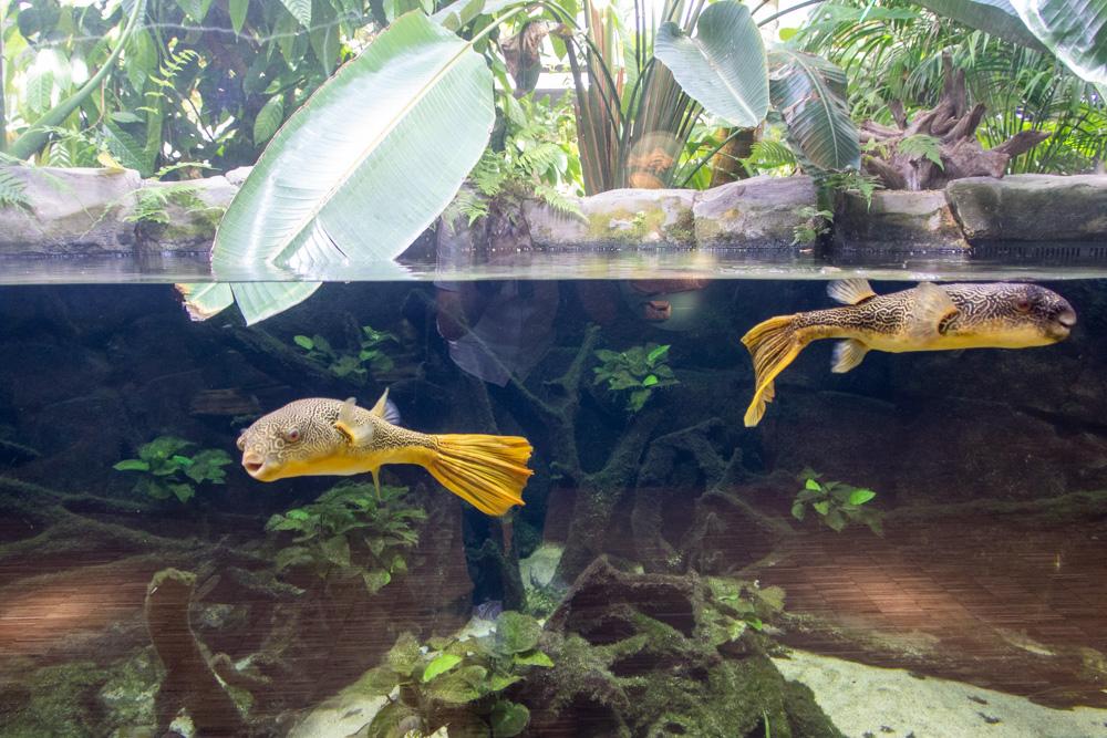 Kugelfisch im Aquazoo Löbbecke Museum Düsseldorf