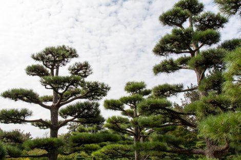 Kiefern im Japanischer Garten im Nordpark Düsseldorf