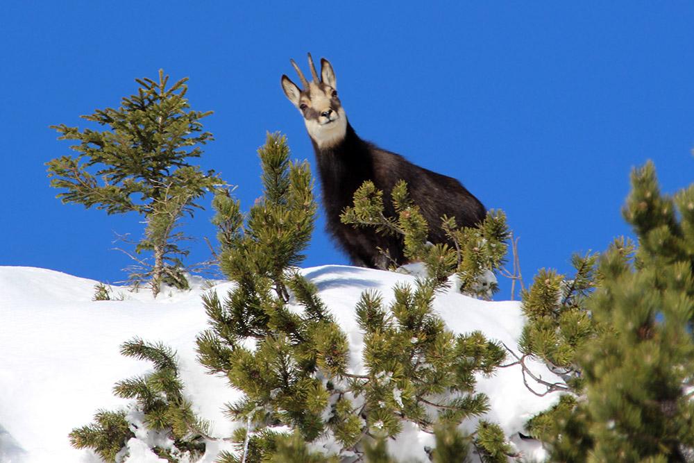 Wilde Tiere fotografieren Gams im Schnee