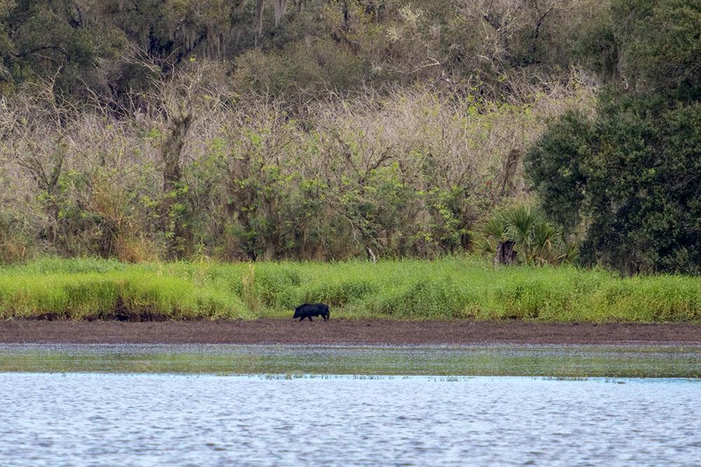 Wildschwein im Myakka River State Park Florida