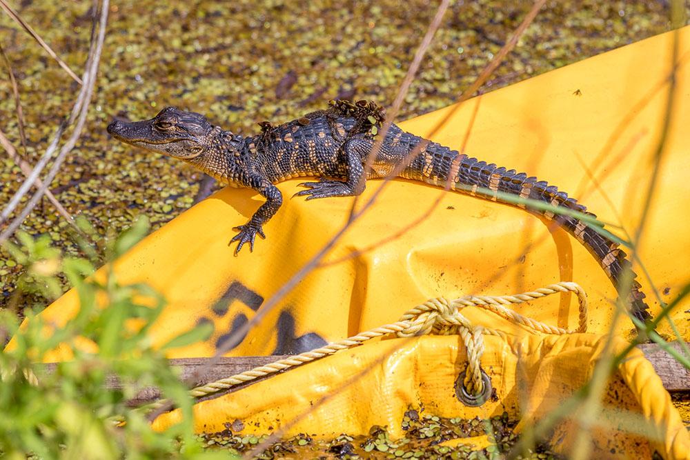 Babykrokodil bzw. Alligator im Myakka River State Park Florida