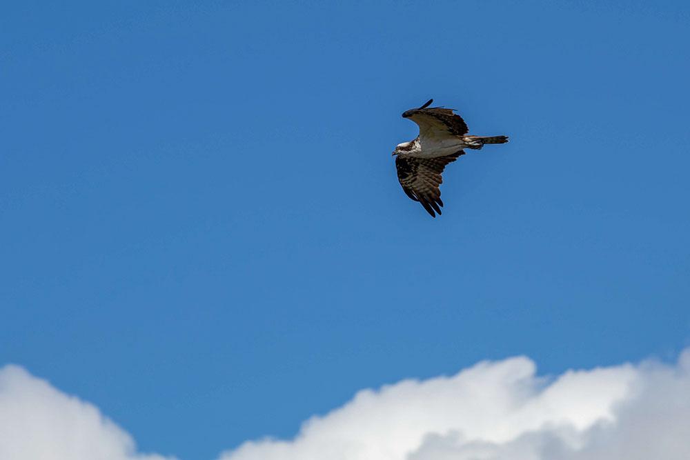 Fischadler bzw Osprey im Myakka River State Park Florida
